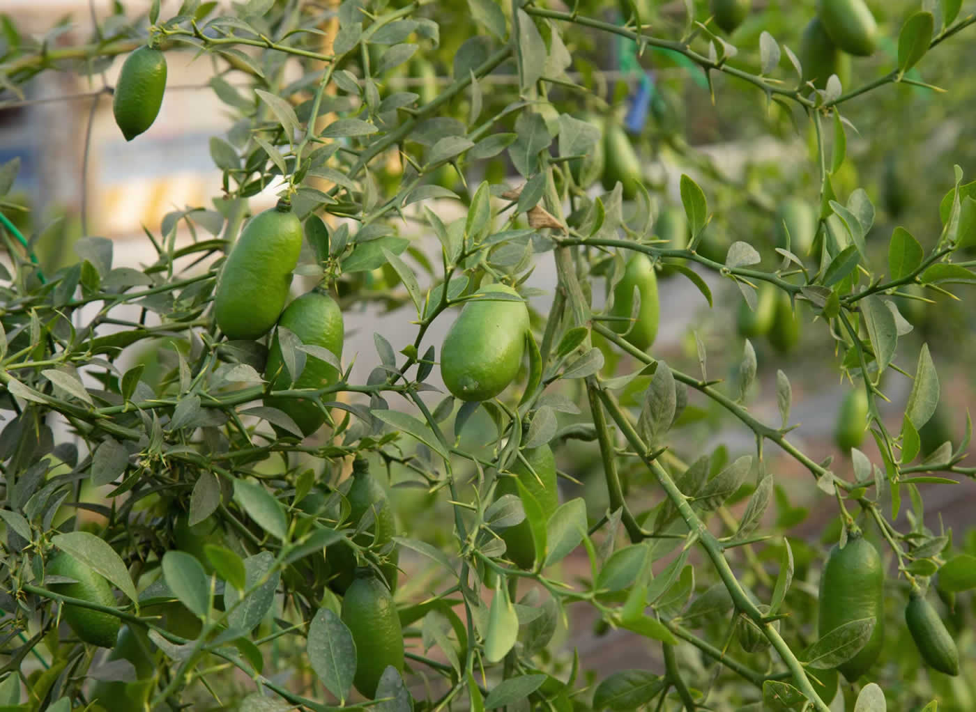 limoni caviale